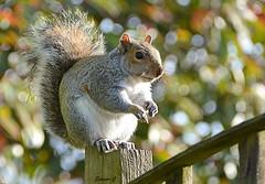 My Furry Lawn Aerator  HFF (Eleanor (No multiple invites please)) Tags: squirrel greysquirrel bokeh fence garden stanmore uk nikond7100 november2017 ngc
