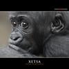 XETSA (Matthias Besant) Tags: affe affen affenblick affenfell animal animals ape apes fell hominidae hominoidea mammal mammals menschenaffen menschenartig menschenartige monkey monkeys primat primaten saeugetier saeugetiere tier tiere trockennasenaffe primates querformat gorilla baby zoo zoofrankfurt matthiasbesant xetsa hessen deutschland