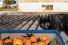 How About Them Oranges (leonelnunes83) Tags: catlovers cats oranges panasonicgf1 nikkor24mm