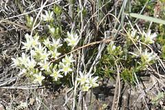 Plants_OB_150 (NRCS Montana) Tags: arenaria hookeri hookers sandwort plants