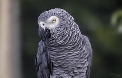 African Grey Parrot (Paula Darwinkel) Tags: greyparrot parrot bird animal wildlife nature portrait