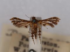 Deuterocopus sp. (dhobern) Tags: lepidoptera pterophoridae deuterocopinae deuterocopus
