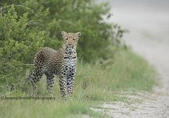 African Leopard, Panthera pardus pardus, Hwange National Park, Zimbabwe (Jeremy Smith Photography) Tags: africanleopard leopard jeremysmith jeremysmithphotographycouk hwangenationalpark zimbabwe bigcats safari