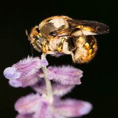 European Woolcarder - Anthidium manicatum (mattbpics) Tags: insect europeanwoolcarder canon 70d 100 100mm ef100mmf28lmacroisusm nature wildlife