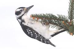 Male Hairy Woodpecker (Picoides villosus) (Steve Byland) Tags: hairy woodpecker picoides villosus spruce tree snow white winter canon 7d markii