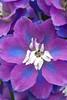 0735Spring17 (Robin Constable Hanson) Tags: blue delphinium floral flower flowers purple spring vertical white