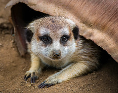 Meerkat Peekaboo (Amazing Aperture Photography) Tags: mammal meerkat small cute nature wildlife africa closeup face portrait fun claws paws nikon nikond800 tamron whiskers fur eyes nose dirt