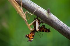 Mantis Eating a Comma Butterfly (Tzacol) Tags: praying mantis wildlife animal macro fujifilm 60mm xa1 nature small green butterfly orange fall summer bokeh comma