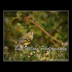 ruby-crowned kinglet (wildlifephotonj) Tags: wildlifephotographynj naturephotographynj wildlifephotography wildlife nature naturephotography wildlifephotos naturephotos natureprints birds bird rubycrownedkinglet rubycrownedkinglets