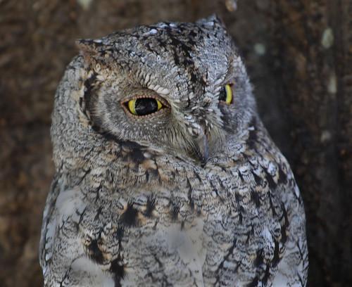 African_Scops-owlet  portrait