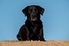 Buddy - The king in the sand (Flemming Andersen) Tags: labrador sand pet nature dog black outdoor buddy hund hjørring northdenmarkregion denmark dk sky blue
