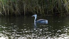 Lonesome Grebe (_J @BRX) Tags: swillington yorkshire england uk autumn 2017 rspb staidenscountrypark nikon d5200 bird grebe greatcrestedgrebe