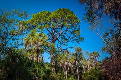 Slash Pine - Riverview Pointe Preserve & Desoto National_ (Cracked_Lens) Tags: sky skyart floridasky skyporn beach floridabeach floridatrail floridahiking florida floridapreserve floridanature nature hikingtrail hikingphotography hikingphotos hiking