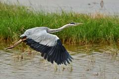 Grey Heron 蒼鷺 (Jeffreycfy) Tags: birds birding wildlife nature animals ardeidae ardeacinerea herons greyheron nikon d500 nikkor200500mmf56e tc14eiii 鷺科 蒼鷺 涉禽