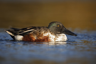Autumn Shoveler...