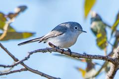 Blue-gray Gnatcatcher, Legion Pleasantville (frank.king2014) Tags: bluegraygnatcatcher stjohns newfoundlandandlabrador canada ca