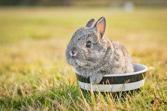 Cuteness in a Bowl (Ranveig Marie Photography) Tags: kanin kaninunge rabbit bunny hermelin dvergraser domesticrabbit domesticanimal cute cuteness bowl polishrabbit hermelinkanin hermelinkaninchen kaninchen baby rabbitbaby youngrabbit young