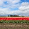 Wooden Shoe Tulip Farm (russ david) Tags: wooden shoe tulip farm woodburn oregon or april 2017 field flower landscape red