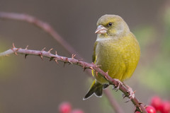 Greenfinch (Andrew_Leggett) Tags: greenfinch chlorischloris finch bird perched autumn bramble hips rose rspboldmoor