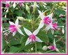 Fuchsia (ERIK THE CAT Struggling to keep up) Tags: flowers manor estate stafford ngc doublefantasy npc