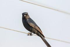 Slate-coloured Boubou (Janis May) Tags: africanbird kruger slatecolouredboubou