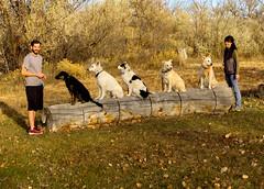 Golden Heart K9s (Chuckcars) Tags: colorado montrose usa dogs trained pets log golden heart k9