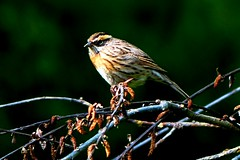 Rufous-breasted Accentor - Western Himalayas (forest venkat) Tags: bird bitterfly macro leaf tree wood forest accentor himalayas mountain europe travel europetravel mountainside whale bluewhale bug ladybug insect spider beetle animal mud caterpillar zoo lovebirds butterfly landscape wildlife jungle nature shore grassland wolf jackal wilddog look northeast picture berry mammal photo city country snake greentree himalaya summertanager sparrow martin goldfinch woodthrush yellowthroat meadowlark wren parrot cockatoo bluetit coaltit mashtit yorkshire nikon ladakh chough sunbird chat thrush flamingos bushchat minivet woodshrike hornbill hummingbird