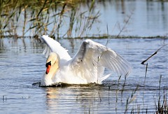 And.........Stretch. (pstone646) Tags: swan nature animal bird wildlife waterfowl reflection river wings stodmarsh kent water fauna