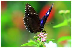 琉球紫蛺蝶   Hypolimnas bolina (Alice 2017) Tags: 2017 hongkong bokeh white green butterfly canon canoneos7d eos7d nature canonef70200mmf4lisusm plant autumn flower insect saariysqualitypictures