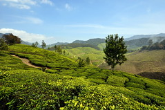 India - Kerala - Munnar - Tea Plantagen - 217 (asienman) Tags: india kerala munnar teaplantagen asienmanphotography