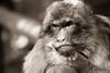 _DSC1605.jpg (megapicseltz) Tags: alsace france relief kintzheim montagne mammifères singe