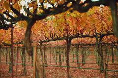 Fall (shishirmishra1) Tags: fall color beautiful nature outdoor california napa valley