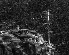 Dead Tree and Shadows, Tuolumne County, CA (4 Corners Photo) Tags: 4cornersphoto autumn blackandwhite boulder california columnarjointing columnsofthegiants dead fall forest landscape monochrome mountains nature northamerica outdoor rock rural scenery shadow sierranevada stanislausnationalforest talus tree tuolumnecounty unitedstates volcanism us