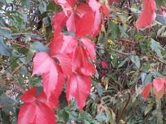 The leaves of autumn (jamica1) Tags: leaves autumn salmon arm shuswap bc british columbia canada