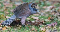 Cooper's Hawk (bbatley) Tags: