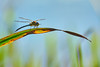 Time For A Rest (paulinuk99999 (lback to photography at last!)) Tags: paulinuk99999 dragonfly nature insect reed resting sal70400g