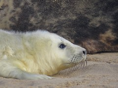 'By Your Side' (mr_snipsnap) Tags: mammal grey seal wildlife fauna nature coast beach sand sea ocean water
