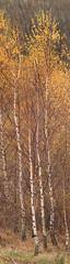 birch stand (explored) (westoncfoto) Tags: centenaryriverside riverdon