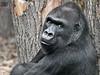 Rebecca (siggi nobel) Tags: zoo frankfurt gorilla rebecca