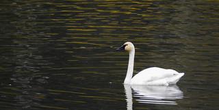 Tundra Swan on Salmon Creek