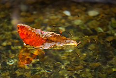(kumherath) Tags: kumariherathphotography canon5dmark3 canonef100mmf28lisusm leaf water fish floating smileonsaturday singleleaf red yellow onesingleleaf