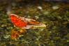 (kumherath) Tags: kumariherathphotography canon5dmark3 canonef100mmf28lisusm leaf water fish floating smileonsaturday singleleaf red yellow onesingleleaf