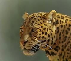 Leopard portrait (Foto's by Yves) Tags: naturereserve domain de cambré 400mm 062017 specanimal coth infinitexposure alittlebeauty coth5