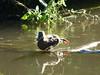 And stretch (Lexie's Mum) Tags: continuing30dayswild walking walks walkingthedog nature wildlife scenery floraandfauna water river duck mallard