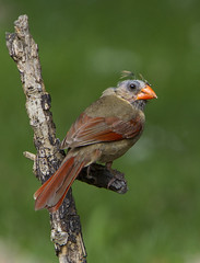 In the molting stage but pretty soon! (AllHarts) Tags: femalenortherncardinal backyardbirds memphistn naturescarousel ngc