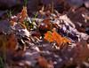 Autunno (GloriaPlebani) Tags: autumn allaperto open novembre foglia secco rosso natura november nature leaf terra nikond80 catadiottrico catadioptric ground red freddo cold