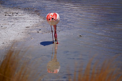 Lunch time (PHOTOGRAFIEBER) Tags: southamerica südamerika backpacking bolivia peru chile adventure uyuni3daysjeeptour uyuni green red laguna lagoon colorada verde salvador dali flamingos landscape salt flat desert mountains incahuasi licancabur