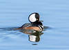 Hooded Merganser (Ed Sivon) Tags: america canon nature lasvegas wildlife wild western water white southwest duck desert clarkcounty clark vegas bird henderson nevada nevadadesert preserve