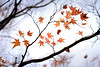Maple 楓葉 (MelindaChan ^..^) Tags: gyeongju skorea 韓國 慶州 maple 楓葉 楓 葉 leaf leaves branch tree plant art bokeh reflexlens minolta250mmf56 autumn fall chanmelmel melinda mel melindachan