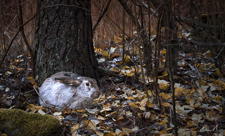 Winterish hare �